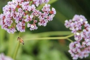 bee-sea-lavender-flowers-1